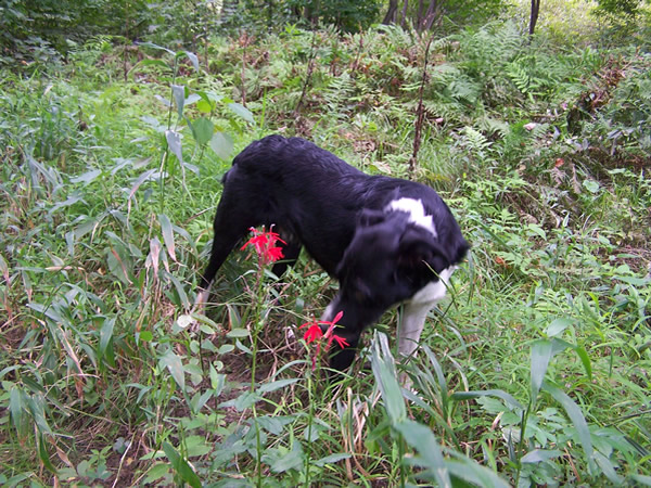 Border Collie Puppies in NH